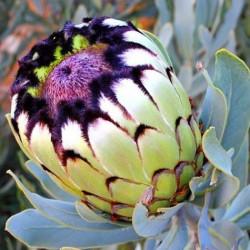 Protea niobe