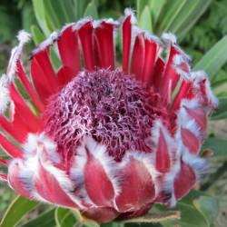 Protea Tasman ruby
