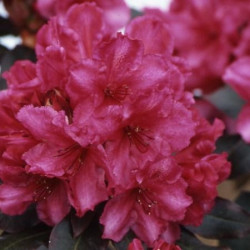 Rhododendron ebony pearl