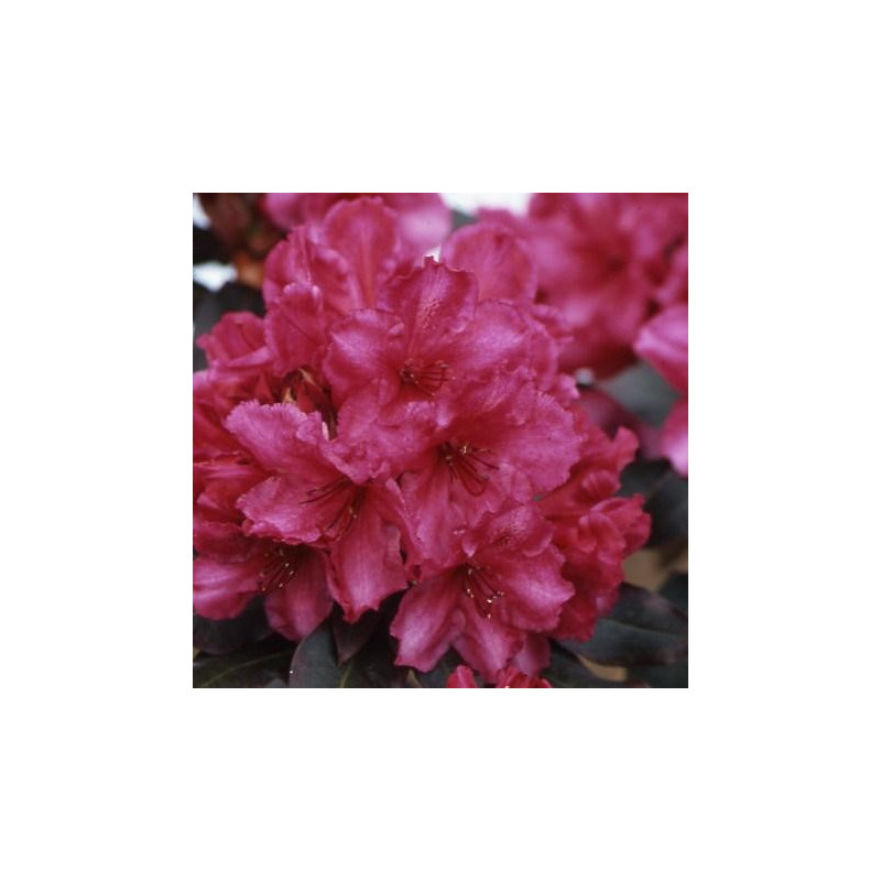 Rhododendron 'ebony pearl'