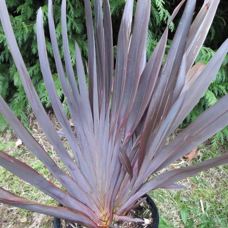 Phormium atrorotundifolia