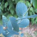Eucalyptus urnigera
