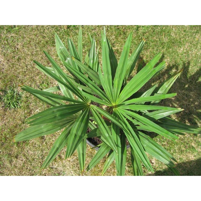 Trachycarpus fortunei 'Darjeeling'
