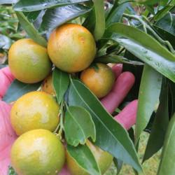 Citrus clementina corsica 2