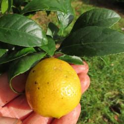 Citrus limonia Rangpur jaune