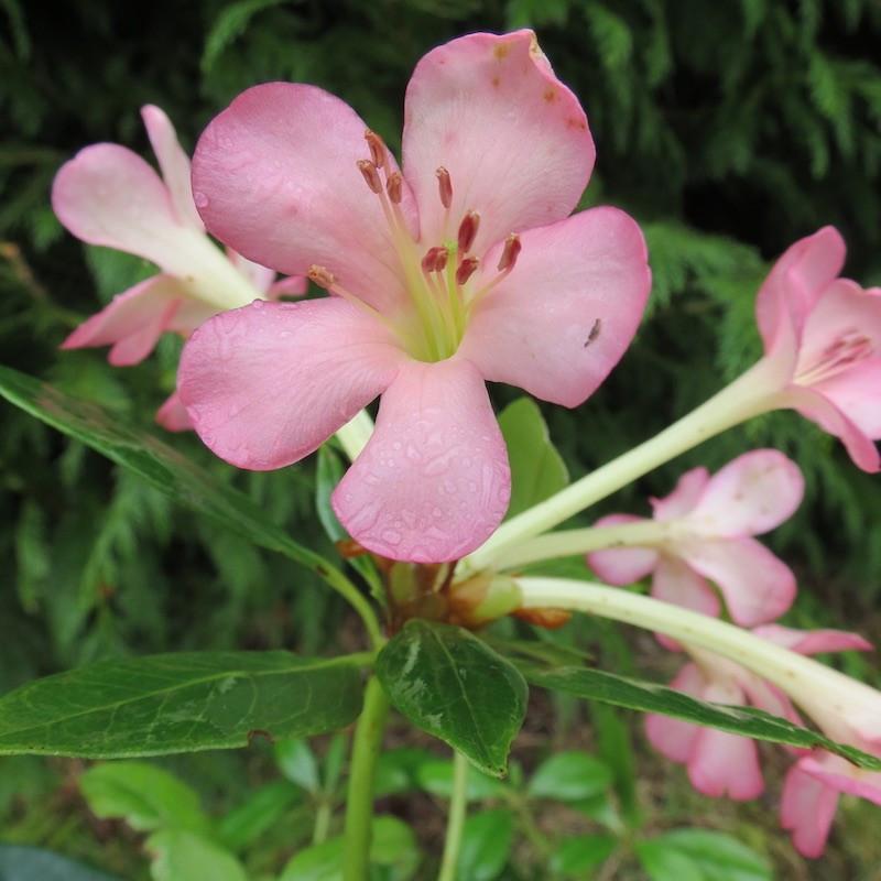 Rhododendron vireya moonwood ivory