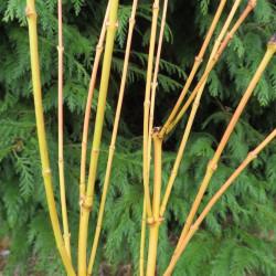 Acer palmatum bi-hoo