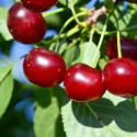 Prunus carmine jewel, cherry tree