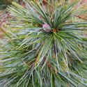 Pinus strobus minima
