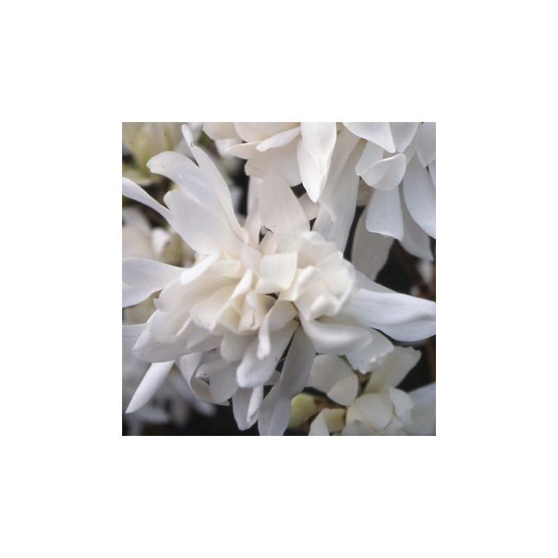 Magnolia x loebneri 'encore'