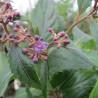 Cardiandra formosana