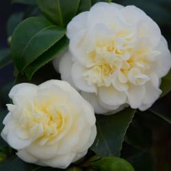 Camellia lemon drop