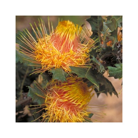Dryandra praemorsa var. splendens