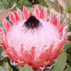 Protea Atlantic queen
