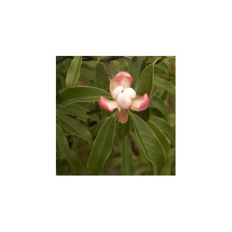Magnolia officinalis (parviflora)