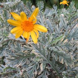 Euryops pectinatus sunshine®