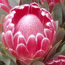 Protea Lady Di