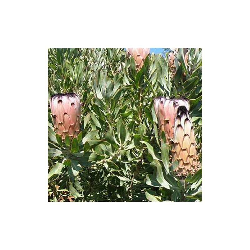 Protea laurifolia