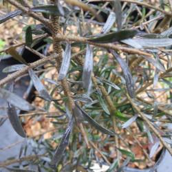 Hymenanthera augustifolia