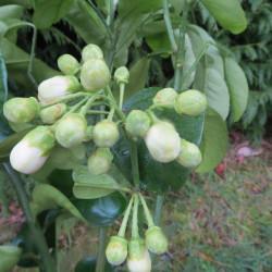 Citrus paradisi Duncan