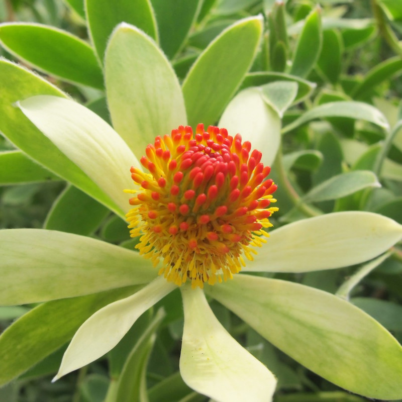 Leucadendron 'summer sun'