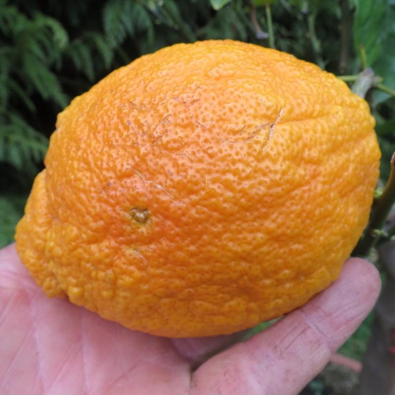 Citrus limoni medica pigmentata