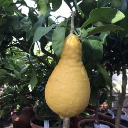 Citrus lumia pyriformis