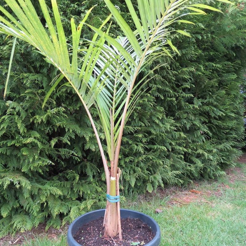 Juania australis 30 l