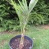Juania australis