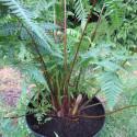 Cyathea australis stipe 5 cm