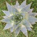 Aloe polyphylla 2 l