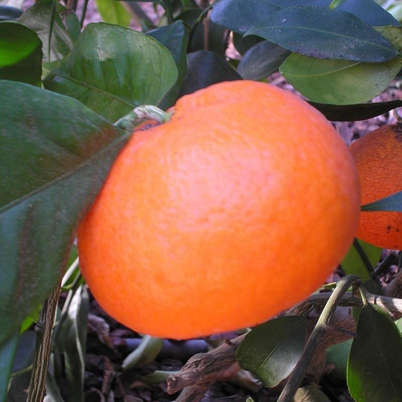 Citrus clementina belezza