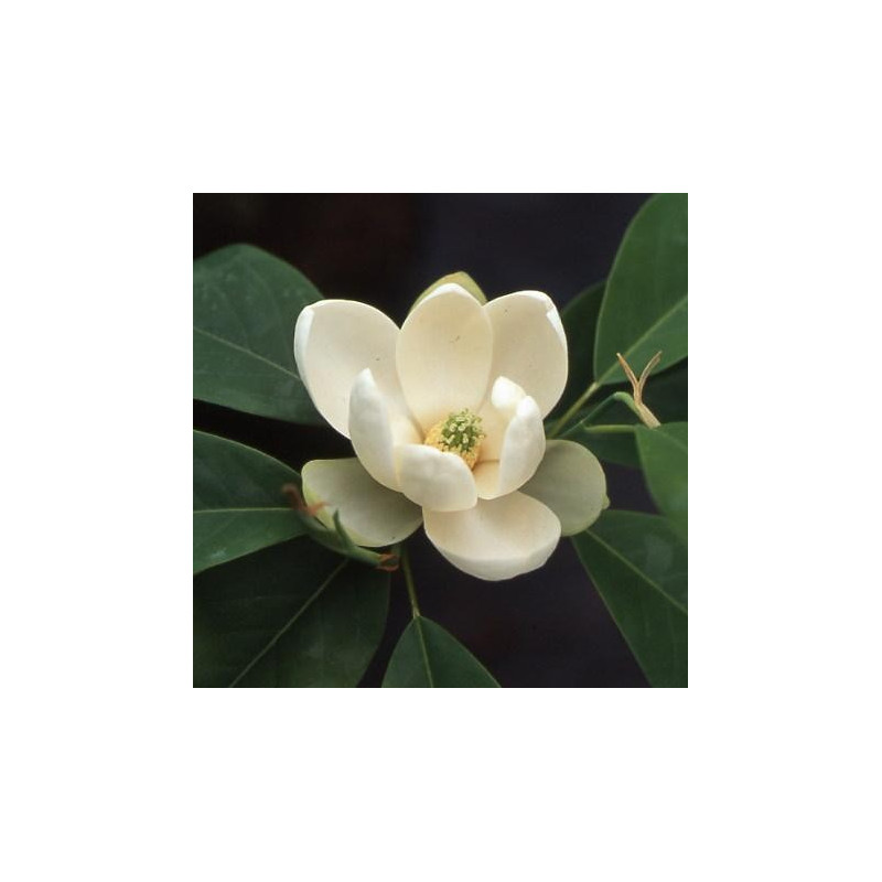 Magnolia virginiana glauca