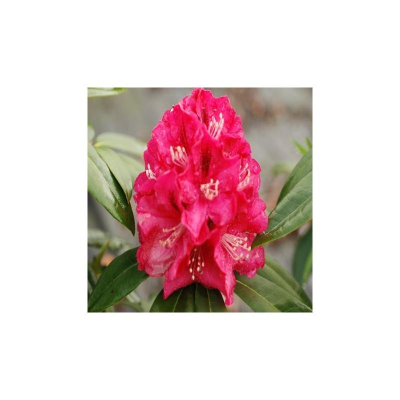 Rhododendron 'Mieszko'