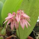 Bulbophyllum fenestratum