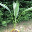 Pritchardia lowreyana
