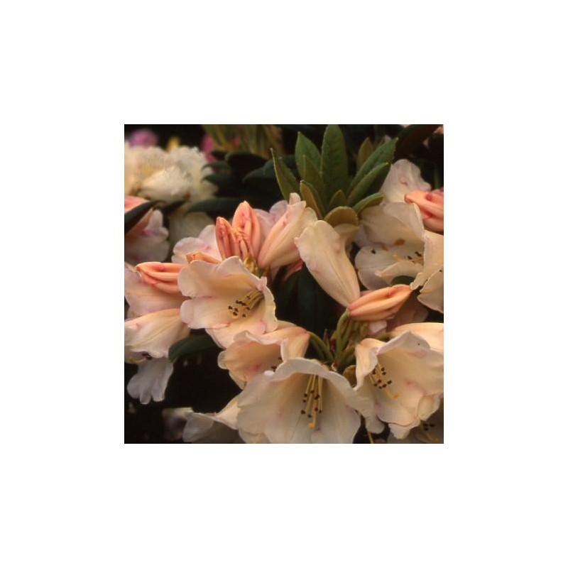 Rhododendron 'grumpy'