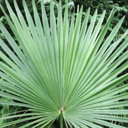 Trachycarpus martianus 'Nepal'