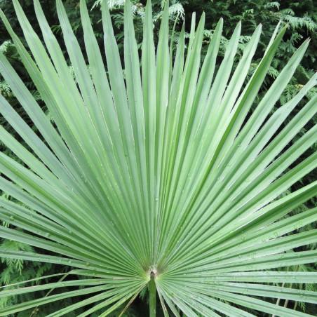 Trachycarpus martianus Nepal