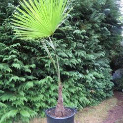 Trachycarpus martianus 'Nepal' 35 l