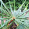 Coccothrinax barbadensis