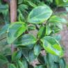 Trachelospermum Chirimen Kazura