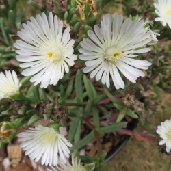 Delosperma white wonder