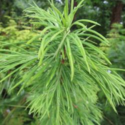 Pseudolarix amabilis