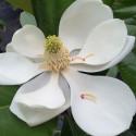 Magnolia grandiflora 'main street'
