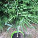 Chamaedorea plumosa