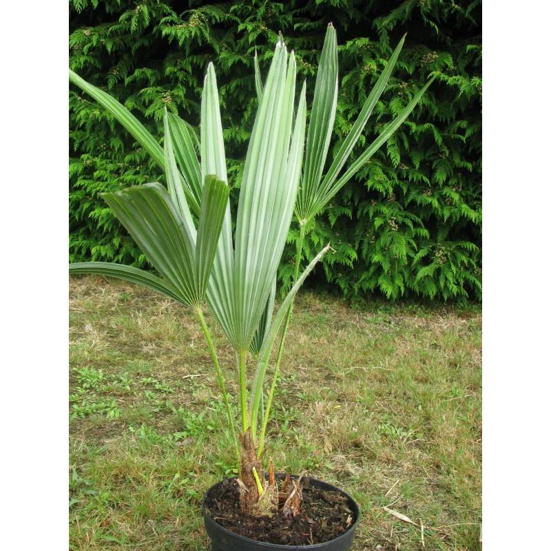 Trachycarpus ukhrulensis (ex manipur)