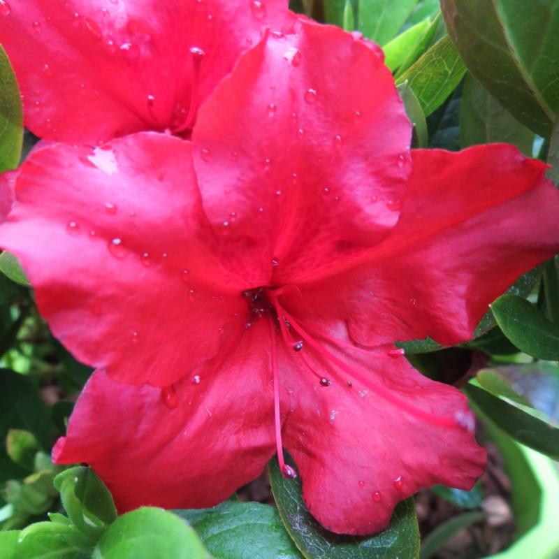 Azalea encore® ruby
