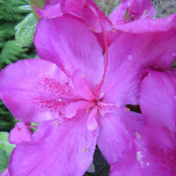 Azalea encore® shortly