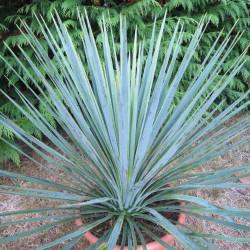 Yucca linearifolia bleu x Yucca treculeana caniculata